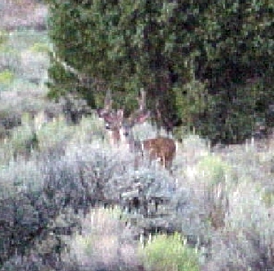 4-Point Mule Deer Buck with Doe