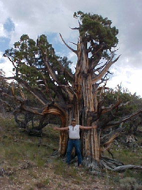 Giant Ancient Juniper at 10,000 Ft.